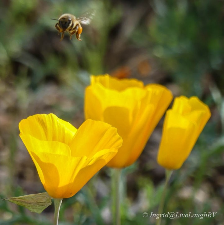 Golden yellow poppies with a bee flying