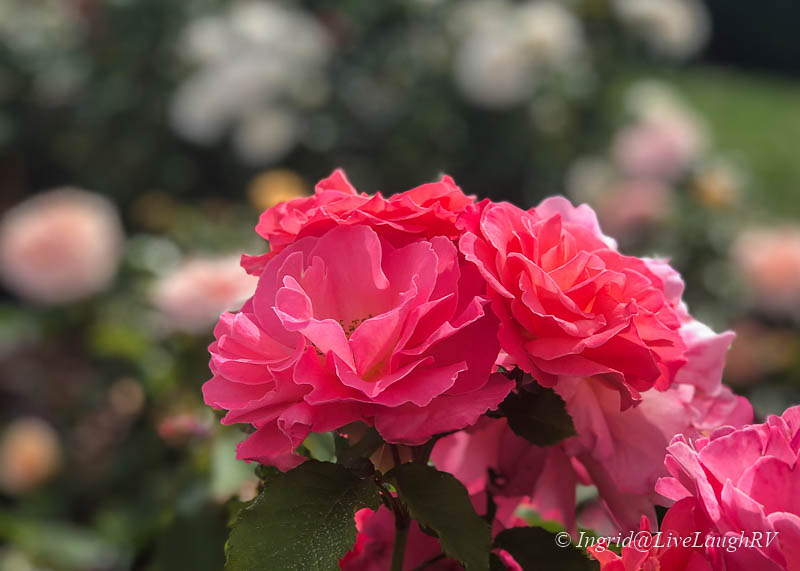 pinkish red roses in bloom
