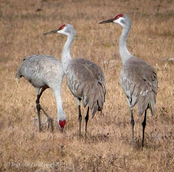 three sandhill cranes in a field
