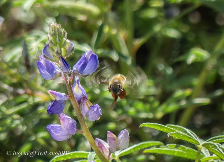 bee inflight with purple flowers