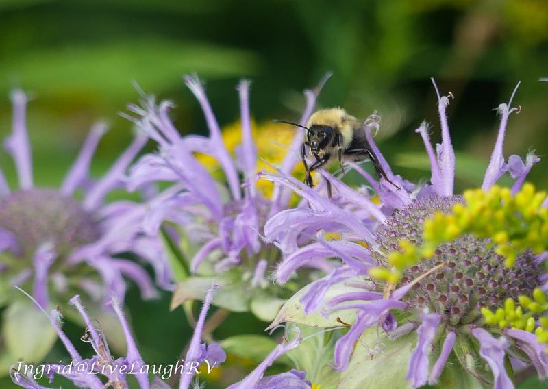 a bee on a purple wildflower
