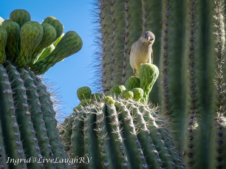 a bird with a quizzical look on a saguaro cactus