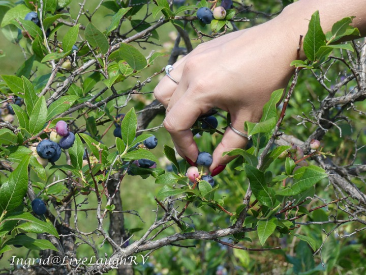 a hand picking blueberries