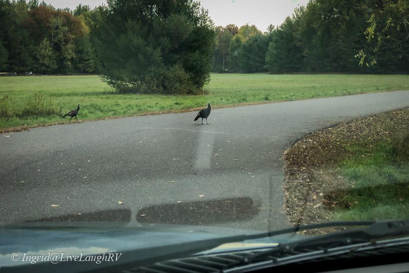 wild turkey crossing the road